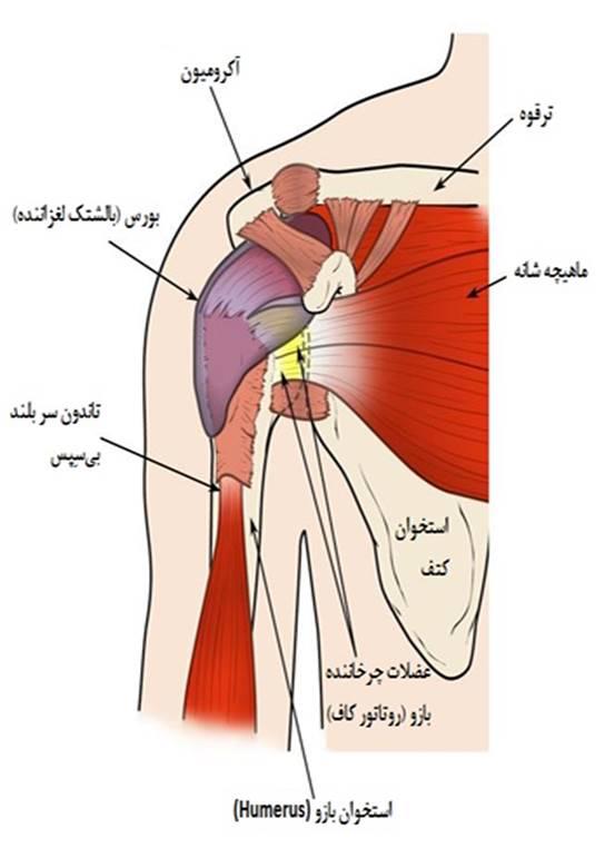 آناتومی شانه