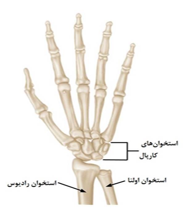آناتومی مچ دست