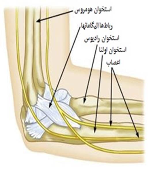 آناتومی آرنج