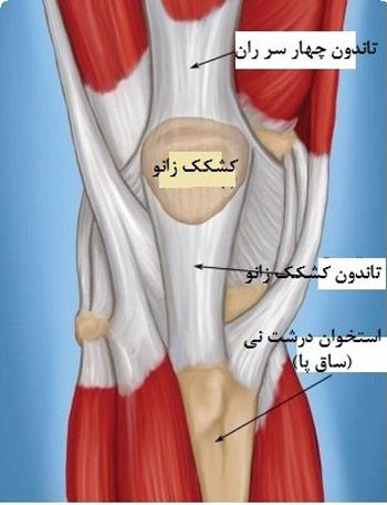 آناتومی تاندون های کشکک زانو