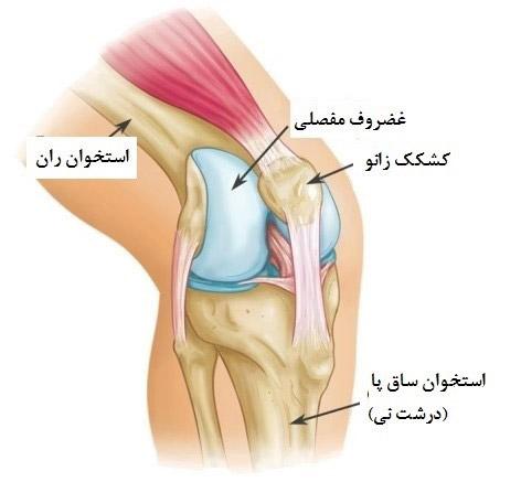 آناتومی کشکک زانو