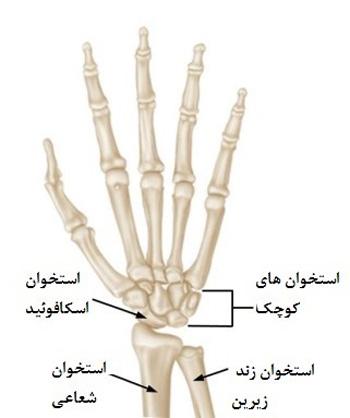 آناتومی استخوان اسکافوئید